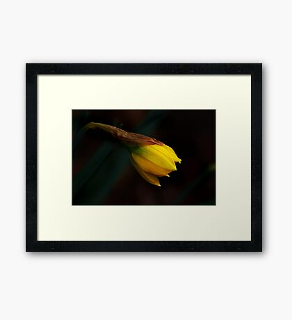 Early Daffodil Framed Print