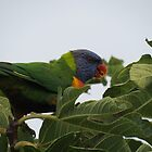 Rainbow Lorikeet (Best viewed large) by Jackson  McCarthy
