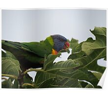 Rainbow Lorikeet (Best viewed large) Poster
