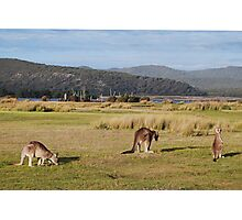 Kangaroos at Narawntapu Photographic Print