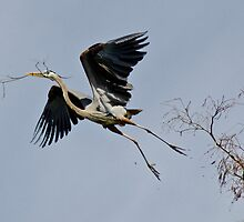 Great Blue Heron Building a Nest by Robert H Carney