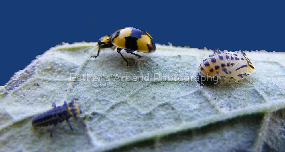 Three stages of the ladybird by Esther's Art and Photography