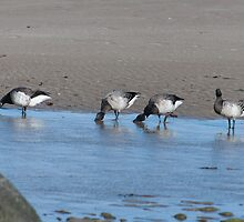 Brent Geese, Cunnigar strand, County Waterford, Ireland by Andrew Jones