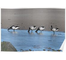 Brent Geese, Cunnigar strand, County Waterford, Ireland Poster