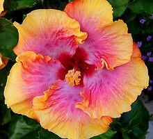 Colorful Hibiscus by Amy Herrfurth
