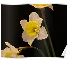 triple daffodils on black  Poster