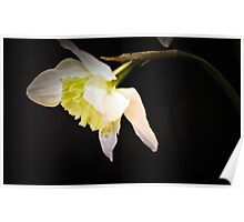 Daffodil drooping head on black  Poster