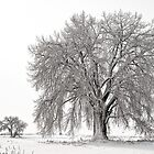 Frosted Cottonwoods by Gregory J Summers