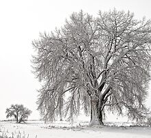 Frosted Cottonwoods by nikongreg