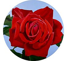 Excelsior - a velvety red rose Photographic Print