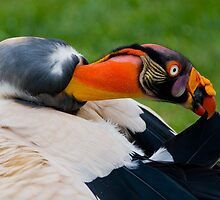 King Vulture by J. Michael Runyon
