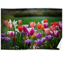 Bloomin' Tulips Poster