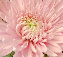 Dizzy Pinks by Jay Reed