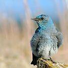 Mountain Bluebird by Teresa Zieba
