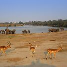 Elephants and Impala, Botswana by GrahamCSmith