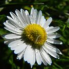 Sweet Daisy by Johnathan Bellamy