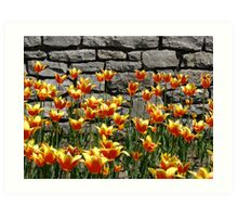 Tulips at the annual Ottawa Tulip Festival Art Print