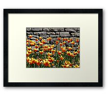 Tulips at the annual Ottawa Tulip Festival Framed Print