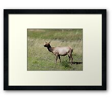 ELK DOE - YELLOWSTONE PARK Framed Print