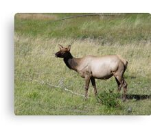 ELK DOE - YELLOWSTONE PARK Canvas Print
