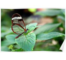 Glasswing on Leaf - Greta oto Poster