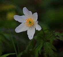 Wild Flowers of Spring, Wood Anemone ( Anemone Nemorosa) by Ian Alex Blease