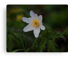 Wild Flowers of Spring, Wood Anemone ( Anemone Nemorosa) Canvas Print