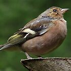 chaffinch by Jonathan Wicks
