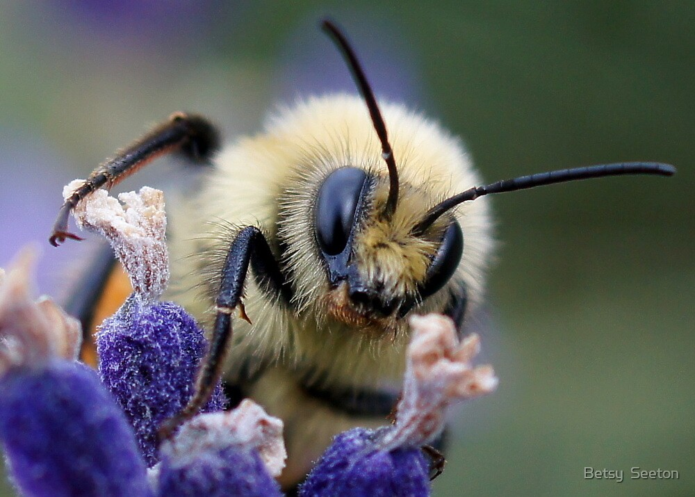 Meet Ms. Bumble Bee by Betsy  Seeton