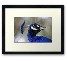Peacock Pride Framed Print