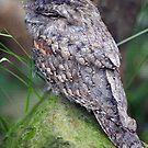 Frogmouth. Queensland, Australia. (2) by Ralph de Zilva