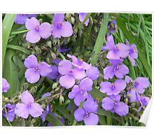 Spiderwort of a Different Hue Poster