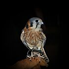 Kestrel by deb cole