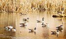 Geese On A Golden Pond by KBritt