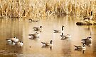 Geese On A Golden Pond by KBritt