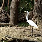 Great Egret by GP1746