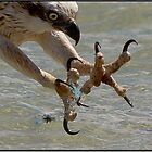 Fishing Line and Osprey by John Van-Den-Broeke