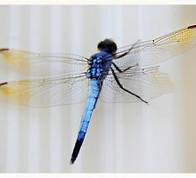 draggin' fly by vampvamp