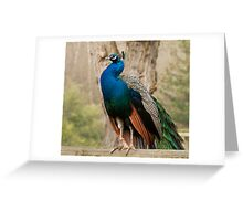 male peacock Greeting Card