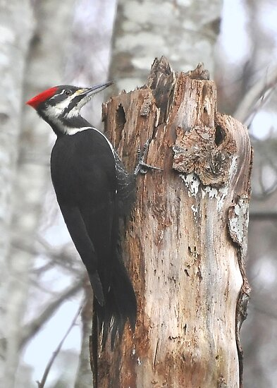 Pileated Woodpecker by Carl Olsen
