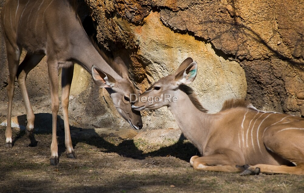 Greater Kudu Affection by Diego Re