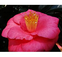 Christmas Camelia Photographic Print