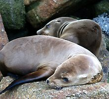 Young Wild California Sea Lions by Ross Campbell
