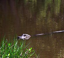 Eye Spy A Gator by DionNelson
