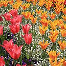 tulips by JamesRatchford