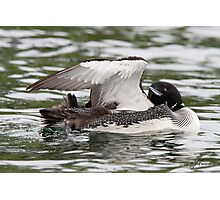 Preening and Grooming Loon Photographic Print
