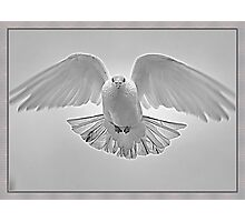 White Pigeon  Photographic Print