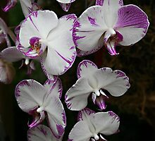 White/Purple Orchid by Vickie Emms