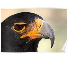 Verraux's or Black eagle.  Poster