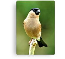 Female Bullfinch Canvas Print